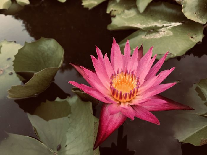 Close-up of pink lotus water lily in pond