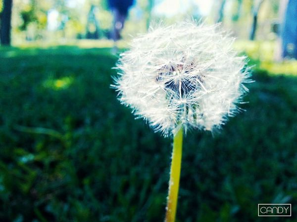 Flower летоо No People Dandelion Fragility Nature Plant Softness Growth Flower Head Focus On Foreground Close-up Beauty In Nature Uncultivated Day Wildflower Freshness Outdoors Springtime летоооо😘💕 First Eyeem Photo