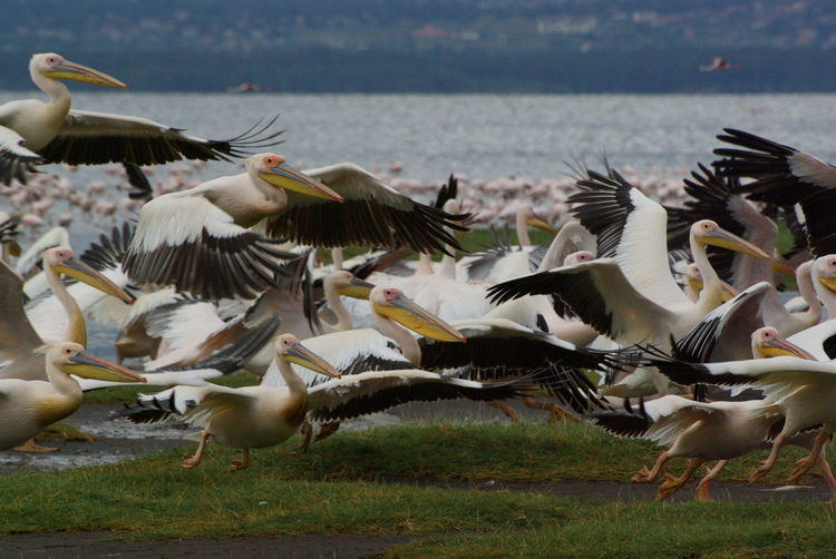 Rare view of flock of pelicans