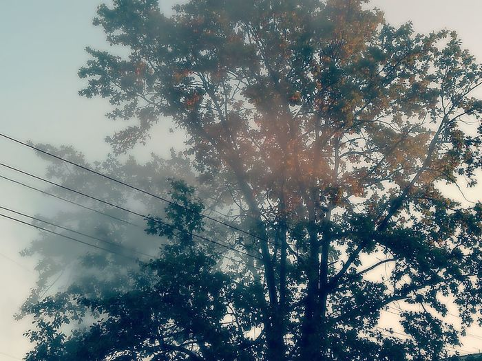 A tree wrapped in fog in an early fall morning. Low Angle View Tree Sky Scenics Sun Nature Tranquility Day Back Lit Growth Beauty In Nature Outdoors Tranquil Scene Branch Sunbeam Majestic No People Solitude Outline WoodLand