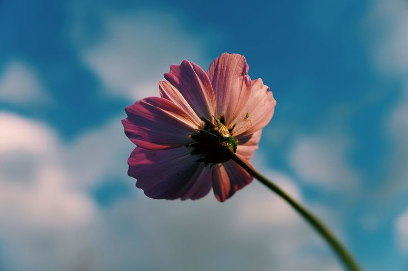 Close-Up Of Cosmos Flower Blooming Against Sky