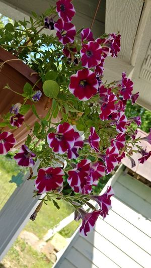 Pink flowers hanging on clothesline