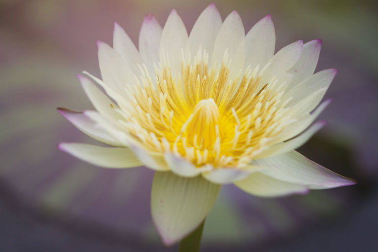 Beautiful white color lotus Flower Flowering Plant Petal Vulnerability  Fragility Beauty In Nature Freshness Plant Flower Head Inflorescence Close-up Growth Nature No People Pollen Focus On Foreground Water Lily Yellow Day Lotus Water Lily Sepal