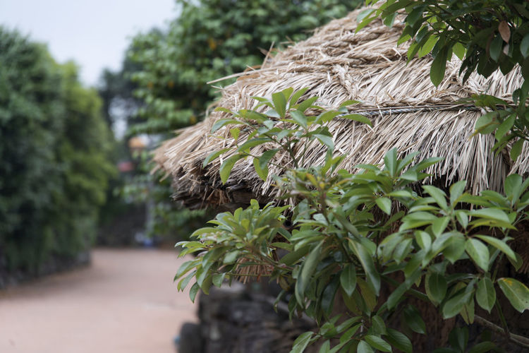 landscape of Seongeup Folk Village in Jeju Island, South Korea JEJU ISLAND  Roof Seongeup Folk Village Beauty In Nature Close-up Day Focus On Foreground Growth Nature No People Outdoors Plant Tree
