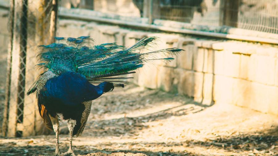 peacock Cyprus