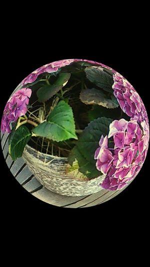 Next funny filter:-) Hortensia Flowers Flower Pot Fisheye