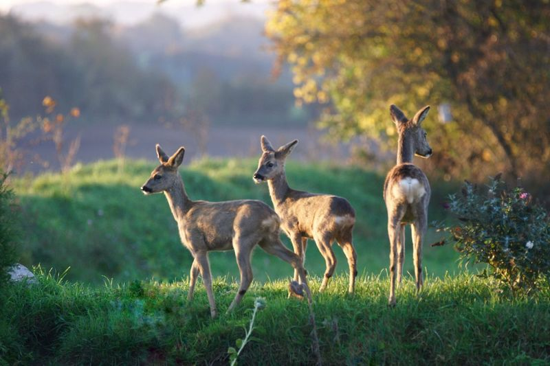 Wildlife Ricke Rehkitz Bambi Animal Group Of Animals Animal Themes Animals In The Wild Animal Wildlife Mammal Grass Standing Field Nature Deer Young Animal