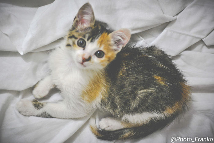 Animal Themes Bed Cat Day Domestic Animals Domestic Cat Feline High Angle View Indoors  Kitten Looking At Camera Lying Down Mammal No People One Animal Pets Portrait