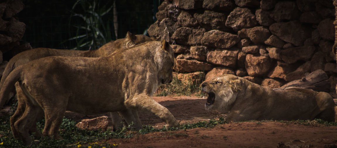 The leader Africa Animal Animal Themes Animals Animals In The Wild Attack Day Fight Forest Leader Lion Lioness Mammal Morocco Nature Nature No People Outdoors Roar Safari Togetherness Travel Wildlife Wildlife & Nature Zoo