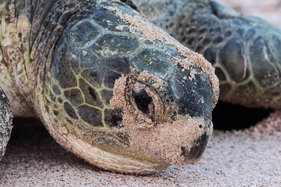 One Animal Reptile Animal Themes Close-up Animals In The Wild Animal Wildlife Nature No People Sea Life Animal Skin Outdoors Turtle Day Tortoise Sea Turtle Giant Tortoise Giant Wildlife Beautiful Nature Portrait Animals Beach Sand in Ras Al Jinz , Oman MISSIONS: The Great Outdoors - 2017 EyeEm Awards The Portraitist - 2017 EyeEm Awards Pet Portraits