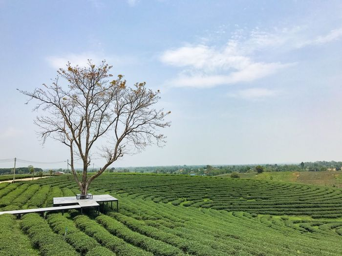 Tree Landscape Beauty In Nature Field Sky Tranquility Day Agriculture Bare Tree Tranquil Scene Growth Nature Scenics Outdoors No People Rural Scene Daytime Relax Shady Trees Freshair Green Plant Beautiful Nature Nature Tea Plantation