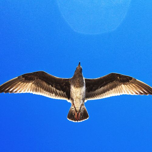 Seagull Bird In California Flying in the Blue Sky Perfection Flare Perfect Wings Takemeback to the Goldenstate Aerodynamic From My Point Of View Frombelow Moments Animal Nature Travel Outdoors Flyaway Santa Monica Pier Natgeo Sky And Clouds First Eyeem Photo