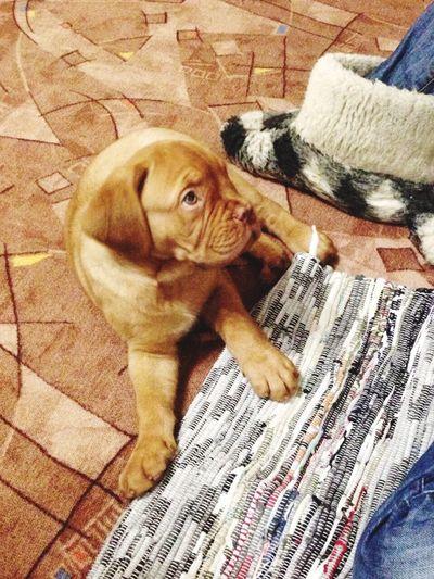 Dogue De Bordeaux Baruch French Mastiff Verysmall Dogstagram Dog Life Dog Love Dogslife Dogs Of EyeEm Doggy Dog❤ Love