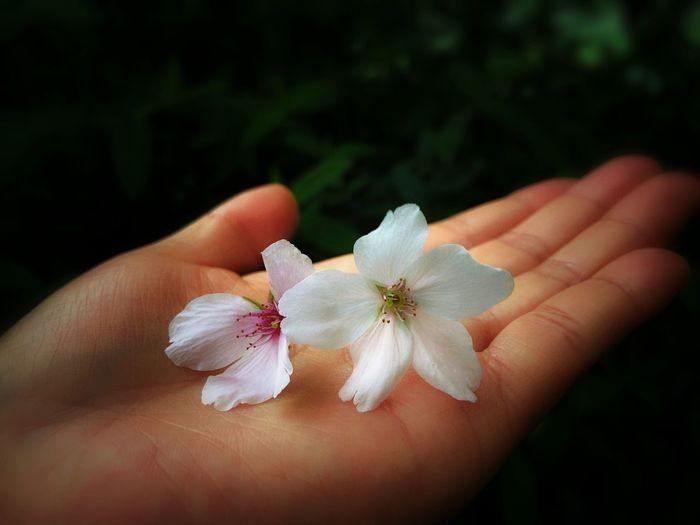 Close-up of hand holding cherry blossom