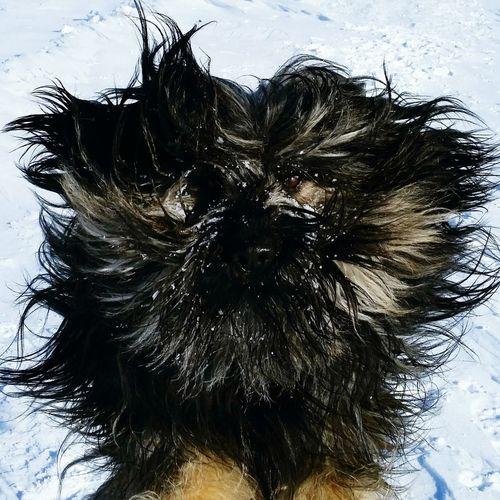 Snow + Sun + Gos D'atura = Fun Bentjesgosaugustin Winter Dog Dog Walking Ilovemydog Winterwalk