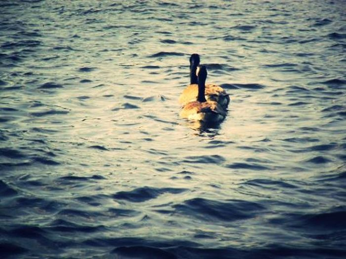 Water Sunny Day Ducks EyeEm Best Shots