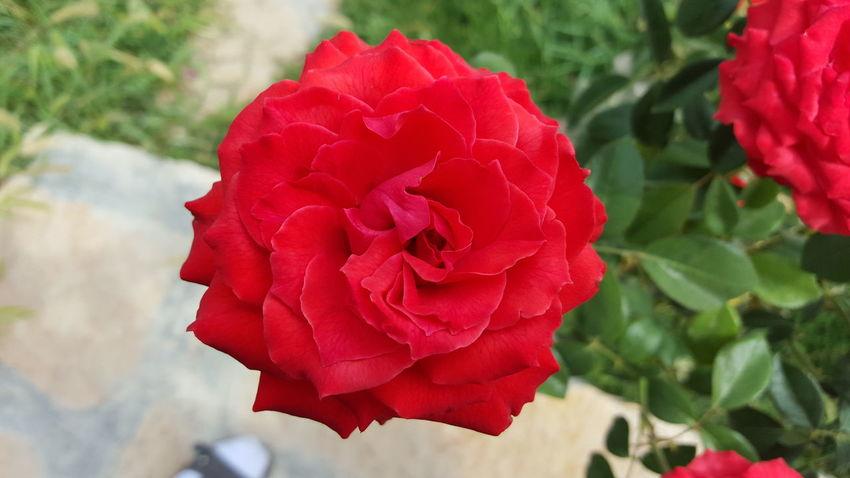 گل ناز زیبای قرمز صورتی گلبهار نازنین عکس_چطوره؟ محیط زیست نما کیفیت خداوند آفرینش نعمت لاله عکاسی طبیعت زیبا زیبایی آرزوهـــــامــــهـ دشت لاله_زارمدیون
