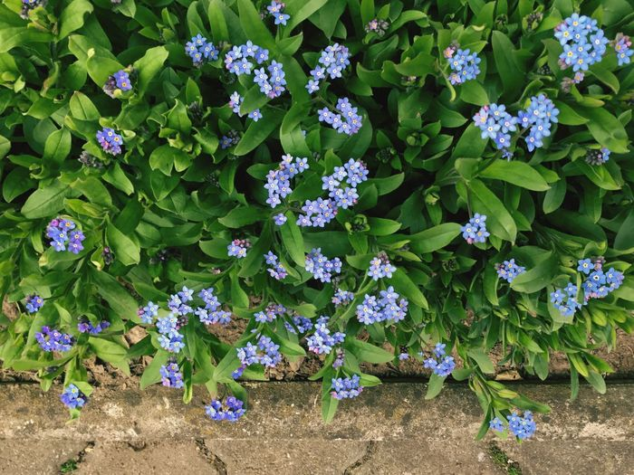 A Hundred Little Eyes Myosotis Spring Blue Green Color Nature Plant Part Day No People Outdoors Botany Flower Head
