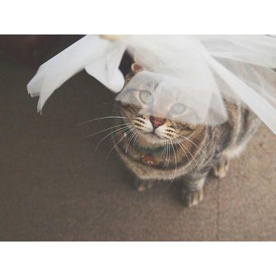 はたきにロックオン! ・ 動くものは何でも気になる。😻 ・ ・ 2歳11ヶ月 猫 ねこ にゃんだふるらいふ ねこのいる生活 ねこばか ig_neko cat_stagram nekostagram ig_cat kintarou きじとら vscocats vscocam 日常 world_kawaii_cats