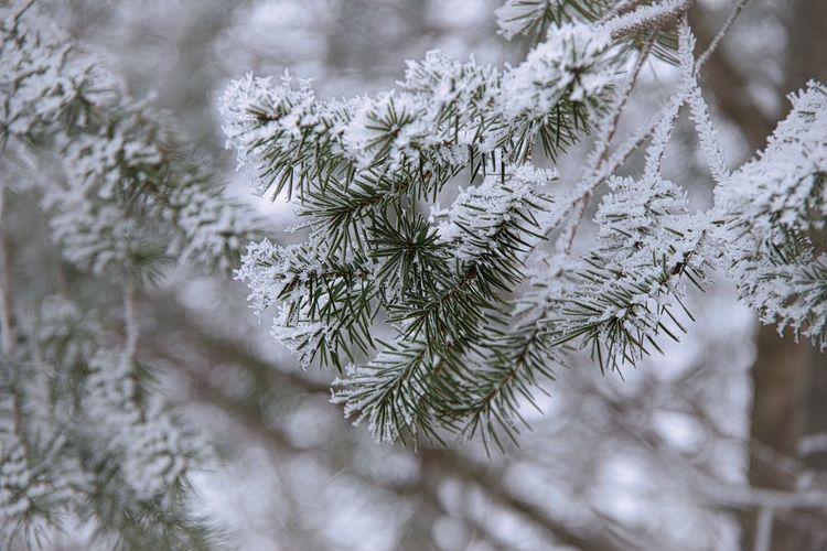 Close-up of pine tree during winter