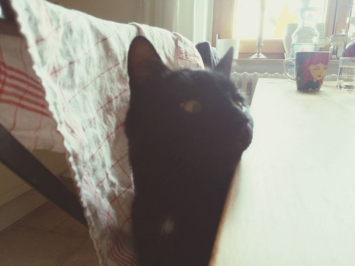 Toothless How To Train Your Cat Table Manners
