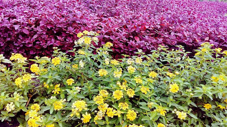 Ornamental Plants Leaves Leaf Flowering Plants Flower In The Garden Flower And Leaves Flower Flower Collection Flower Color Yellow Flower Yellow And Green Beauty Of Flower Flower Photography Leaves Color Color Of Leaves Shrub Shrub Color Leaves On The Shrub Garden Gardening Beauty Of Nature Color Of Nature Beautiful Nature Colorful Leaves Park
