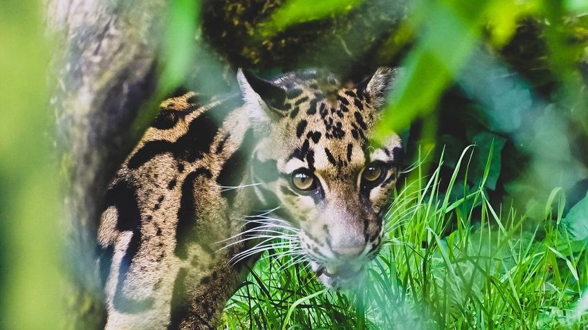 Wild Animal Wildlife Beauval One Animal Animal Themes Mammal Nature Grass Leopard Close-up Panther Animals In The Wild Outdoors Photography Animal Animal Photography SonyHX400V Sony Wildanimal Wildlife Animals Nature Amateurphotography Beauty In Nature Animals In The Wild
