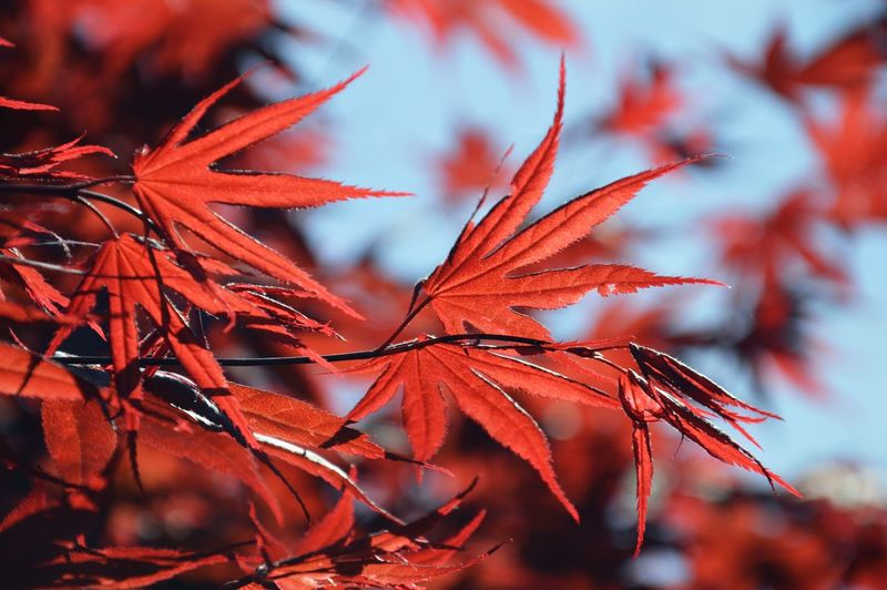 Leaves Red Autumn Leaves Autumn Nature Photography Blue Blue Sky Sunshine