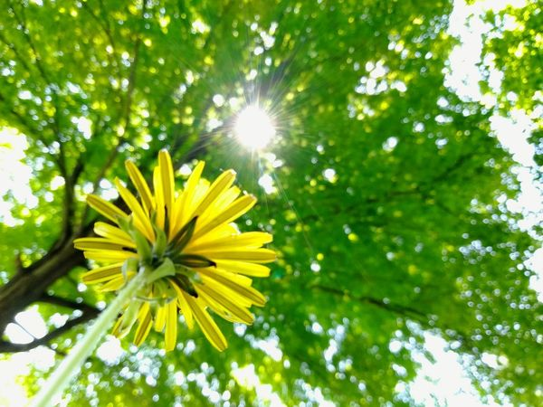 looking up, not letting myself give up have too keep pushing and trying because four beautiful amazing children are looking to me. dont lose hope. Check This Out Michigan Pure Michigan EyeEm Flower EyeEm Flowers Collection EyeEm Nature Lover Looking Up Sun Beams Sunrays Shining Through EyeEm Outdoors Dandelion Collection Nature_collection My Backyard Outdoor Photography Flower Head Flower Tree Yellow Springtime Soft Focus Sunlight Petal Sun Blossom Dandelion Wildflower Uncultivated In Bloom Botany