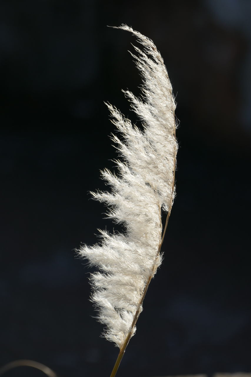 Close-Up Of White Pampas Grass Growing Outdoors