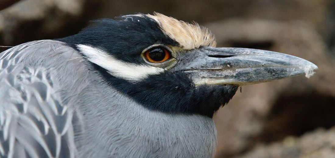 Yellow Crowned Night Heron, Genovesa, Galapagos. Bird One Animal Animals In The Wild Wildlife Beak Close-up Animal Eye Nature No People Avian Galapagos Islands Animals In The Wild Wildlife Photography Birds Of EyeEm  Bird Photography Heron