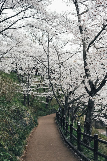Sakura in my heart Tree Plant Direction The Way Forward Footpath Nature Beauty In Nature Growth Branch No People Tranquility Park Flower Road Flowering Plant Springtime Day Blossom Transportation Tranquil Scene Outdoors Diminishing Perspective Cherry Blossom Cherry Tree Treelined