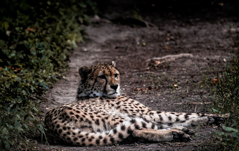 Cheetah relaxing on ground