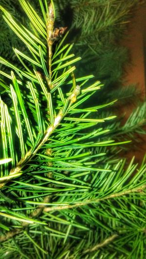 Green Color Nature Close-up Beauty In Nature Freshness Christmas Tree Nem Nature Beauty In Nature Freshness Nature Nature_collection árbol Arbol De Navidad