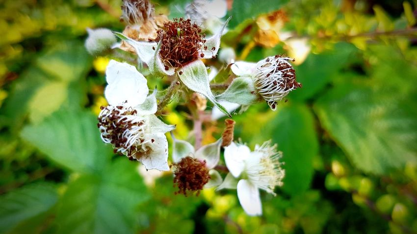 Nature Day Close-up Focus On Foreground No People Outdoors Plant Fragility Beauty In Nature Flower Bramble Flower