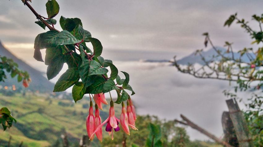 Flower Ecuador Cajas Abovesealevel Fog