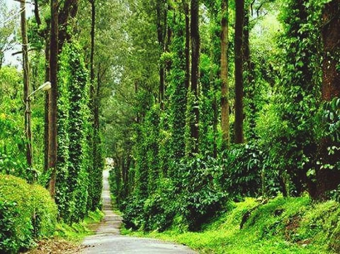 Coffee Estate Nature Photography Forestwalk Estate Ride Nature Coffee Plantations Green Nature Peaceful Evening Peace Of Mind Peaceful Moment Peace✌ Plant Plants And Trees Hillstationlife Hillstation Pepper Planting