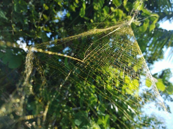 ใยแมงมุมสีทอง Tree Web Spider Web Spider Close-up Animal Themes Green Color