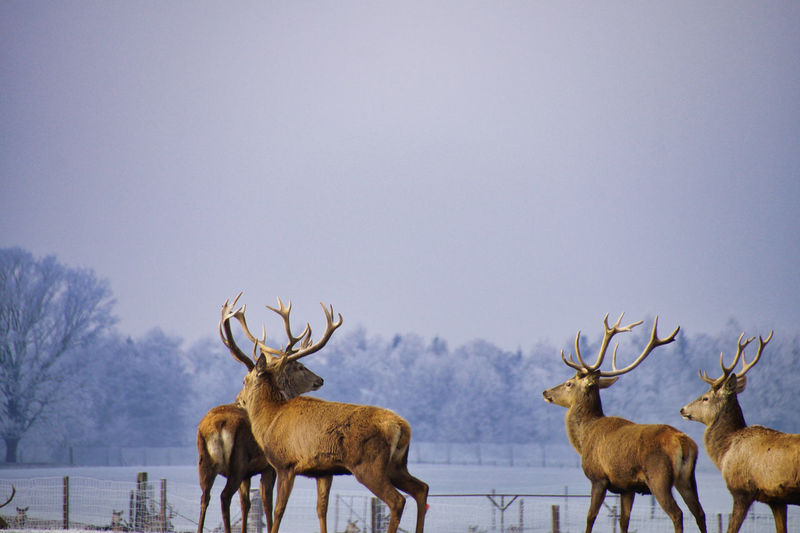 Herd of deer on snow covered field