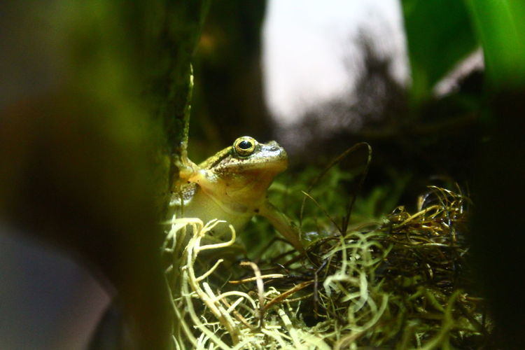 Amphibian Animal Photography Animal Themes Close-up EyeEm Macro Frog Frogs Frosch Green Hyla Leaf Leaves Macro Macro Beauty Macro Photography Macro_collection Makro Makro Photography No People Selective Focus Showcase: March Toad Art Is Everywhere