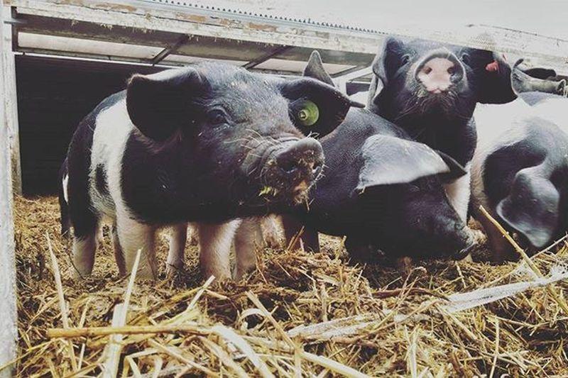🐷 pozdrav ze Sasova 🐽 Pig Piggies Sasov Biofarma Bio Prestik Selatka Veprici Trochusmradektady @fidorkagreen