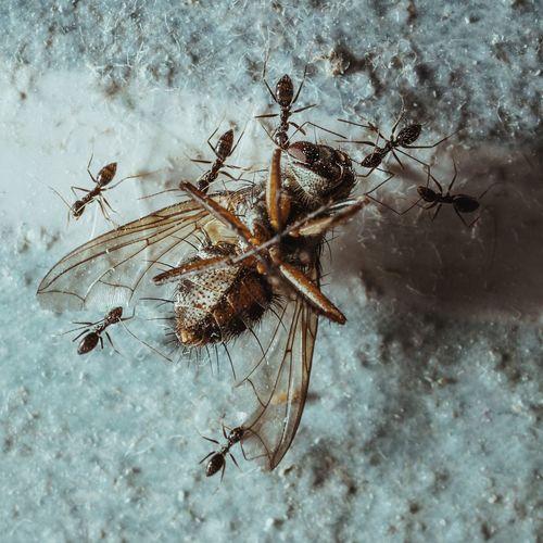 El Rapto Insect