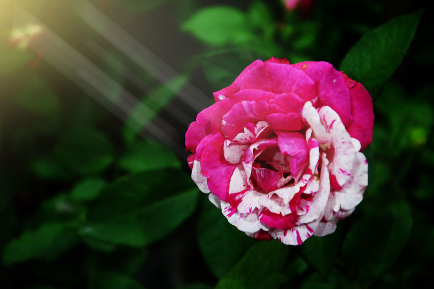 Pink Rose Backgrounds Beauty Beauty In Nature Close-up Cosmatic Flower Focus On Foreground Mixcolour Mutation Pink Color Roses White Rose White Color EyeEmNewHere