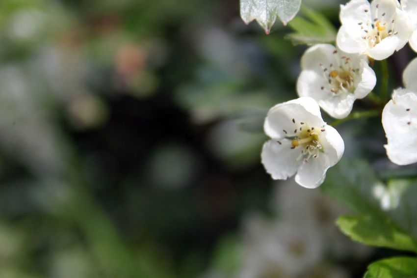 Blossom Hawthorn Flowers Delicate Beauty Delicate Flowers Delicate White Flower Selective Focus No People Scottish Borders Showcase June