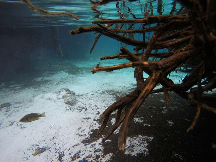 Three Sister Springs , Crystal River FL Underwater Crystalriver Florida Clearwater Roots