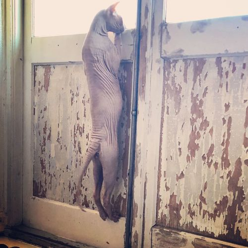 Exotic Pets Sphynx Sphynx Cat Don Sphynx Mammal One Animal Indoors  No People Wall - Building Feature Animal Wildlife Window Glass - Material Day Cat Door Entrance Feline Built Structure Vertebrate Whisker Wall