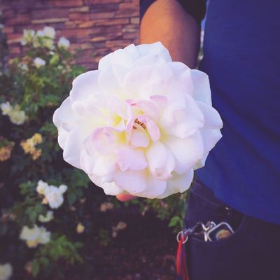 a beautiful blushing white rose, given to me as a gift of love before dinner Love Socute Amazing White Rose Blushing Hegavemeflowers Alwayshandedflowers