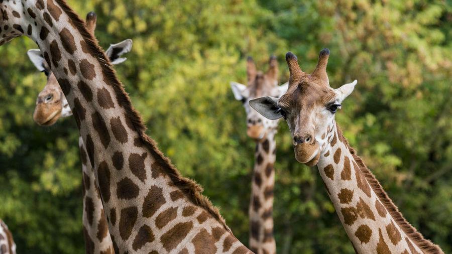 Giraffes against trees in zoo