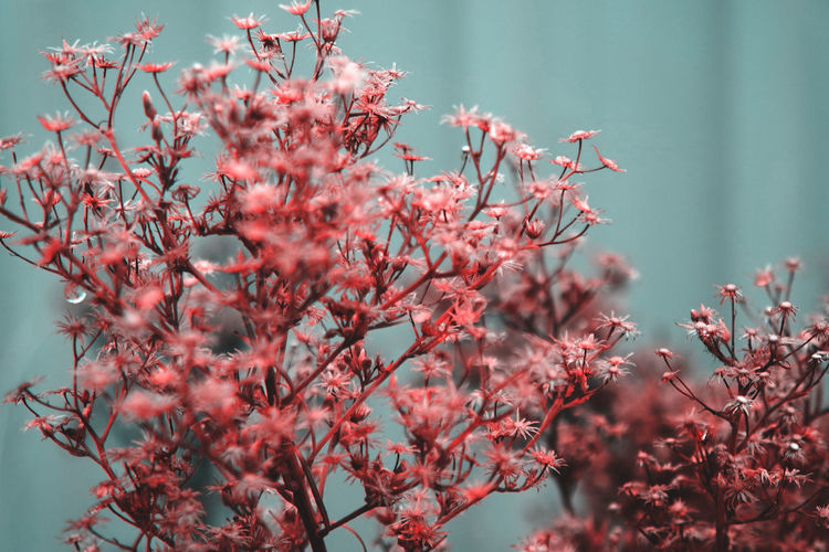 Red leaf Plant Beauty In Nature Flowering Plant Growth Flower Fragility Vulnerability  Tree Freshness Nature No People Pink Color Day Close-up Branch Focus On Foreground Outdoors Selective Focus Springtime Blossom Cherry Blossom
