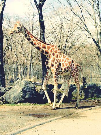 Zoo Giraffe Cute Fun Day